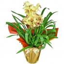 Orquidea Cimbidium