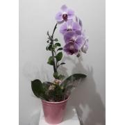 Orquidea Cascata Rosada